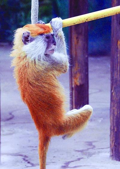金丝猴子是什么颜色_红山动物园:14种猴子大显身手(组图)