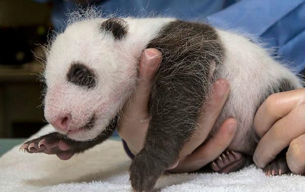 旅美大熊猫宝宝满5周 表情超萌惹人爱(组图)