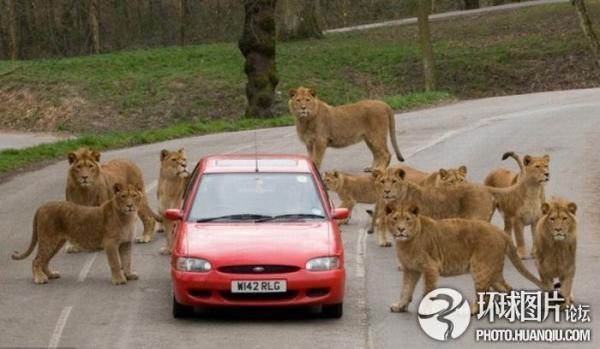 英野生动物园里游客汽车被群狮包围