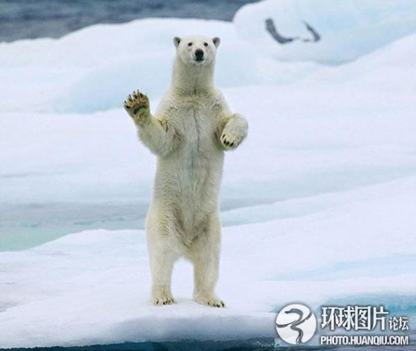 北极熊经过仓鼠看到站立挥手不给船只放食盆图片