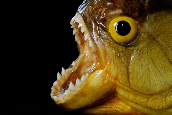 12种令人恐惧的淡水动物 牙签鱼入侵人类尿道 1 科技频道 光明网 组图