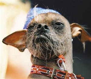 马格利是世界最丑的狗狗.新华社 发-这只小狗 世界最丑 图图片