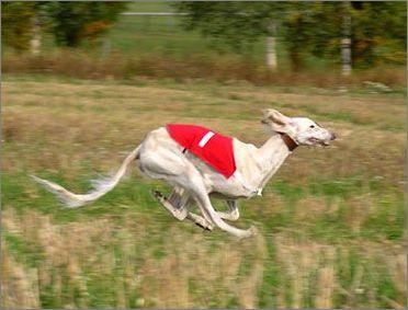 萨路基猎犬的训练