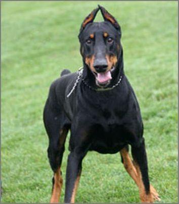 宠物大全:杜宾犬详细资料