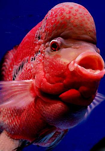 【罗汉鱼怎么养】最正确的罗汉鱼饲养方法 - O