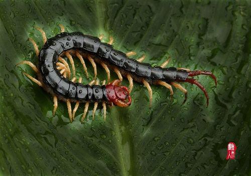 【被蜈蚣咬了怎么办】蜈蚣咬伤应急处理方法