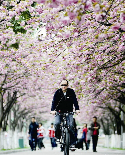 A fragrance the charming cherry blossom in wuhan to drench the rain